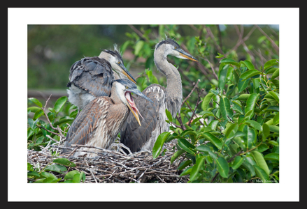 Young Great Blue Herons in the nest art print