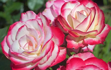A Pair of Roses art print