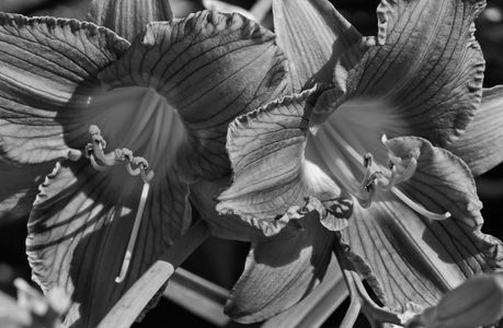Lily flower art print in black and white for home and office