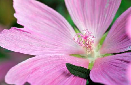 Malva flower photography art print macro