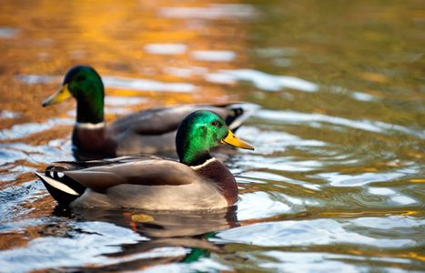 Duck on pond wildlife photography art print