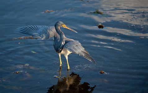 Tricolor Heron photography art print