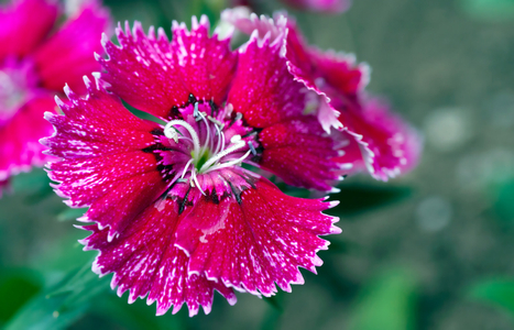 Dianthus flower photography art print for home and office