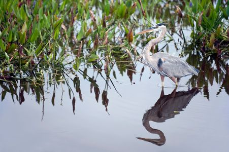 Great Blue Heron and Reflection at the Florida Wetlands photo art print