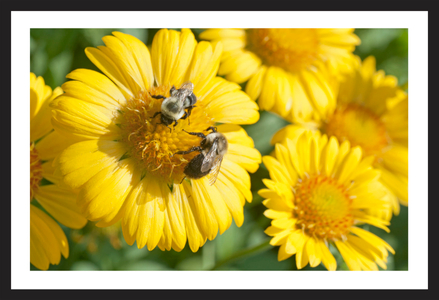 Daisies and Bees flower art print for home and office