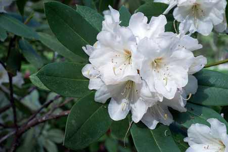 Rhododendron flower art print photo