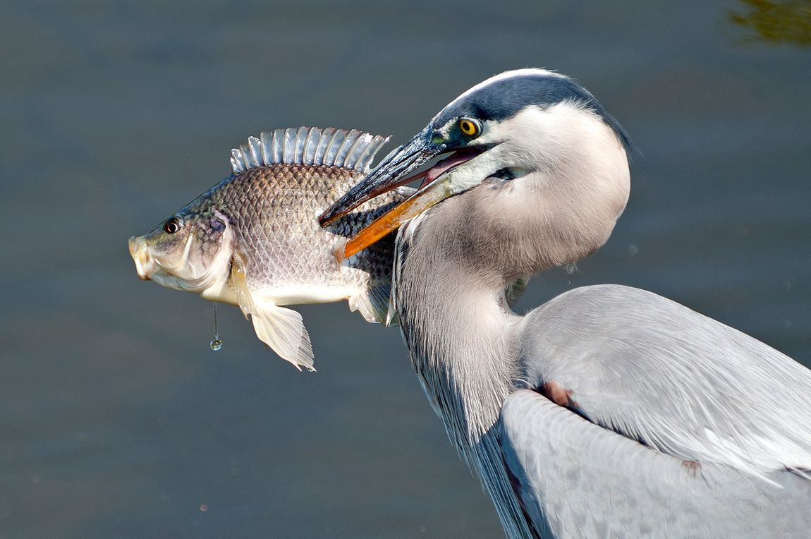 Great Blue Heron with live fish at the Florida Wetlands