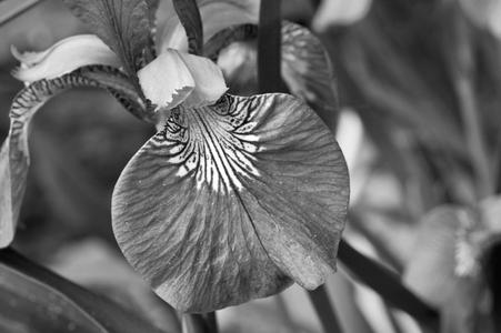 Iris flower photography art print photo black & white