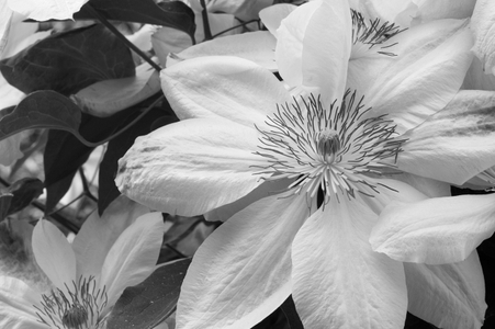 Clematis flower photography art print in black & white
