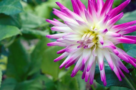 Dahlia flower photo art print