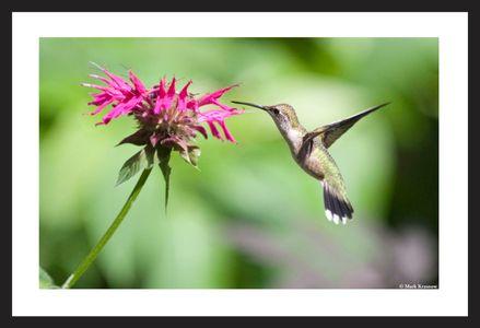 Hummingbird Feeding on Bee Balm