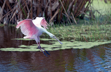 Spoonbill coming in for a landing photography art print
