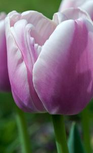 Tulip flower verticalphotography art print