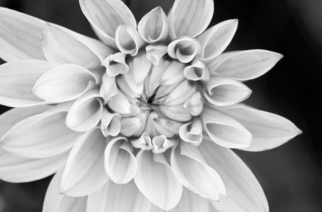 Dahlia black & white photography art print