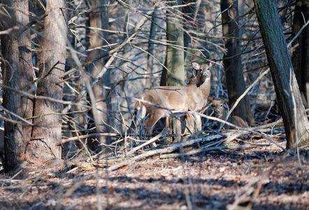 White Tail Deer in woods photo art print