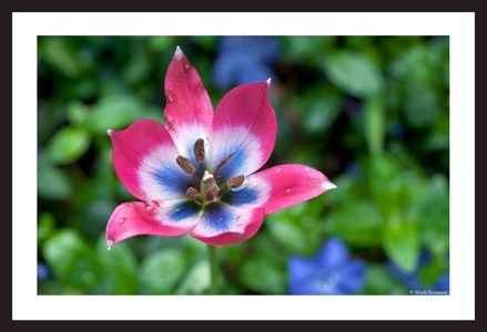Wild Tulip art prints