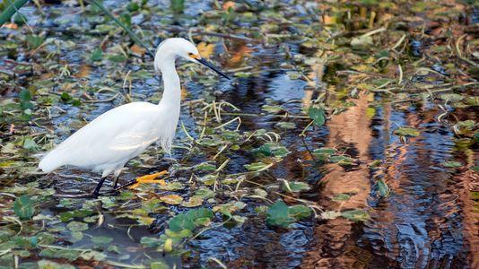 Snowy Egret hunting at sunset wildlife photography art print