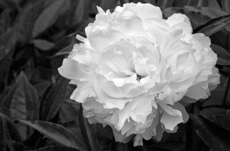 Peony flower photography art print in black & white