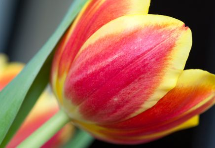 Red with Yellow Accent Tulip flower photography art print