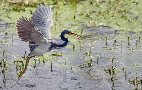 Tricolor Heron taking flight at Florida wetlands photography art print