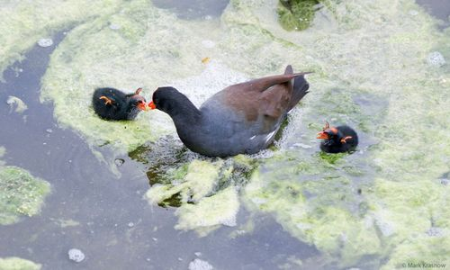 Moorhen with young photo art print