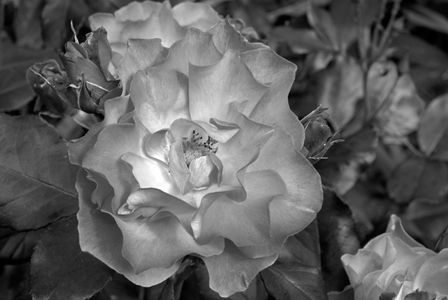 Rose flower photography black & white art print