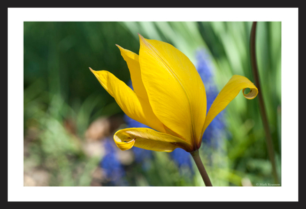 Wild YellowTulip photography art print