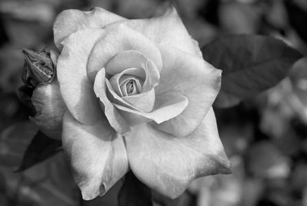 Rose flower photography art print in black & white
