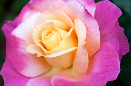 Rose flower photography art prints