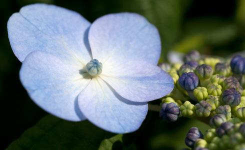 Hydrangea flower photo art print collection