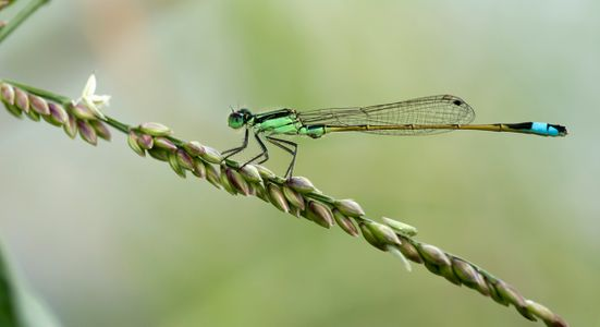 Damsel fly macro photography art print