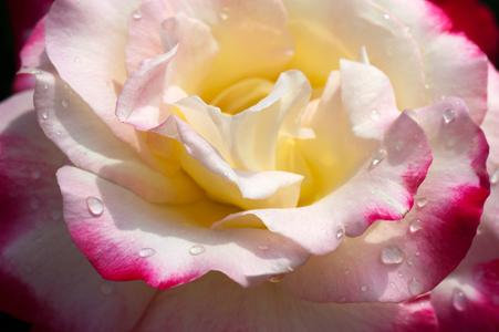 Rose flower photo fine art print