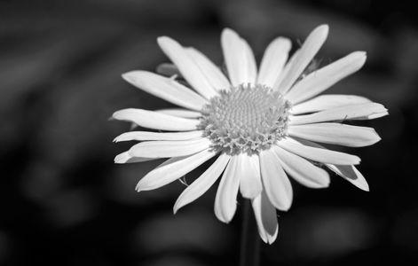 Daisy art print photo in black & white for interior design