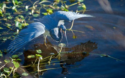 Tricolor Heron Hunting art print