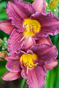 Lily art print vertical for home and office