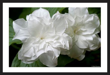 Double Trillim Flower