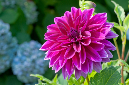 Dahlia flower photography art prints for home or office