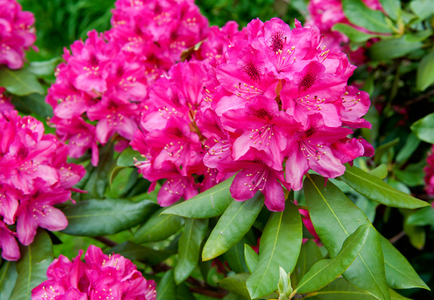 Red Rhododendron flower art print