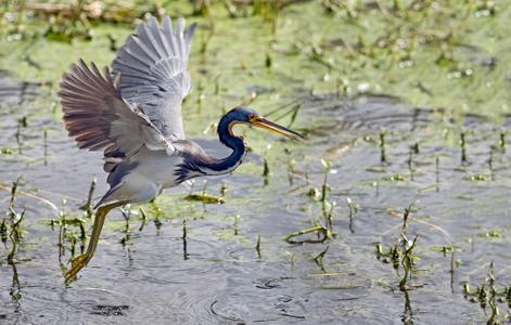 Tricolor Heron taking flight at Florida wetlands photography art print