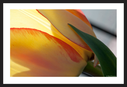 Yellow and Red Accent Tulip art print for home and office
