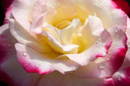 Rose flower photo fine art print