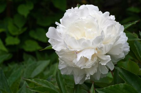 Peony flower photo art print