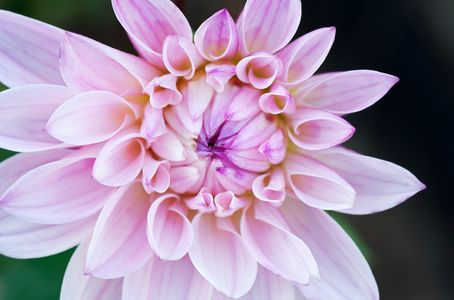 Dahlia flower photography Macro art prints