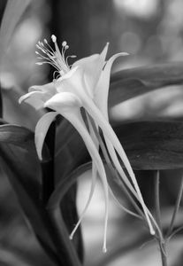 Columbine photo art print black & white