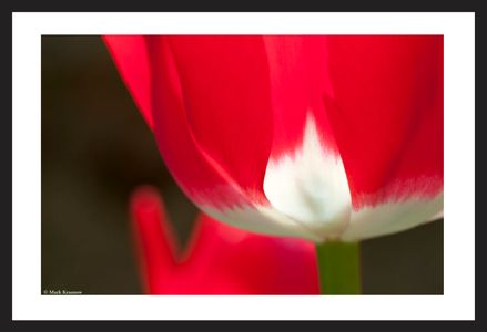 Red Tulip art print for home and office