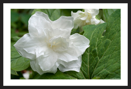 Double Trillium flower art print for home and office