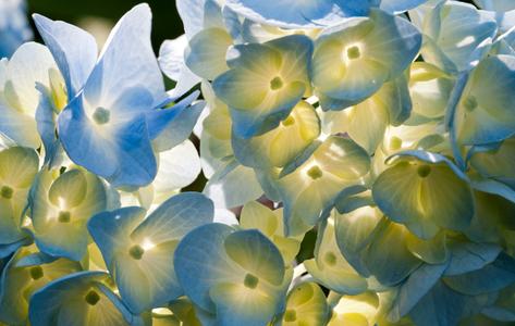 Hydrangea flower art print macro