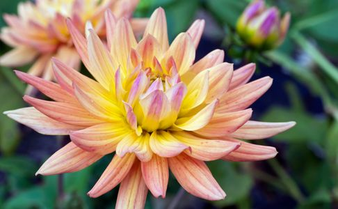 Dahlia flower photo art prints for interior design