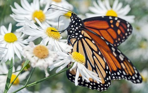 Monarch Butterfly nature art print