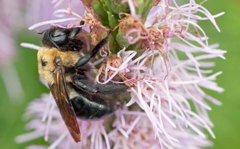 Bee on flower macro photo art print